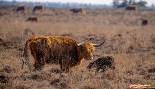 2020-03-27 Schotse Hooglander Moeder en pas geboren kalf-Terletse Heide-1