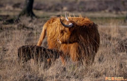 2020-03-27 Schotse Hooglander Moeder en pas geboren kalf-Terletse Heide-2