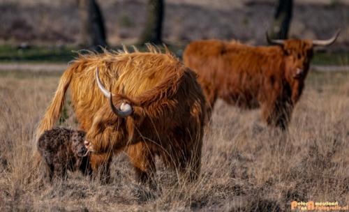 2020-03-27 Schotse Hooglander Moeder en pas geboren kalf-Terletse Heide-4