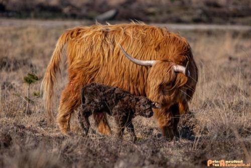 2020-03-27 Schotse Hooglander Moeder en pas geboren kalf-Terletse Heide-5