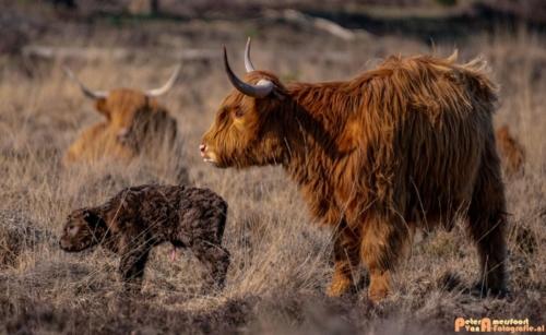 2020-03-27 Schotse Hooglander Moeder en pas geboren kalf-Terletse Heide-7