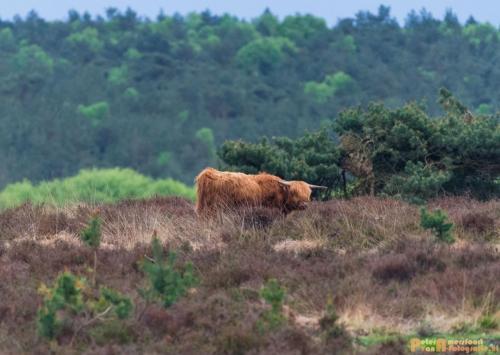 2018-04-30 Schotse Hooglanders Terletse Heide 002