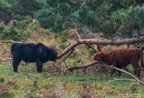 2018-04-30 Schotse Hooglanders Terletse Heide 004