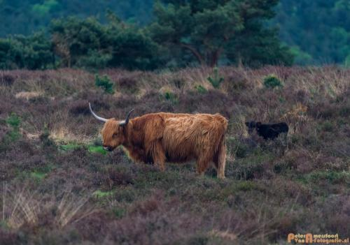 2018-04-30 Schotse Hooglanders Terletse Heide 006