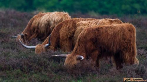2018-04-30 Schotse Hooglanders Terletse Heide 011
