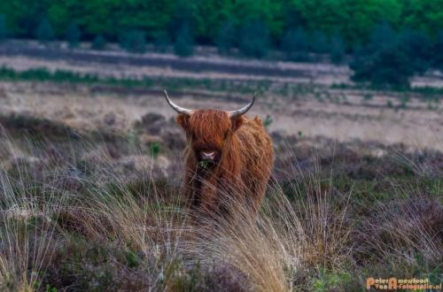 2018-04-30 Schotse Hooglanders Terletse Heide 016