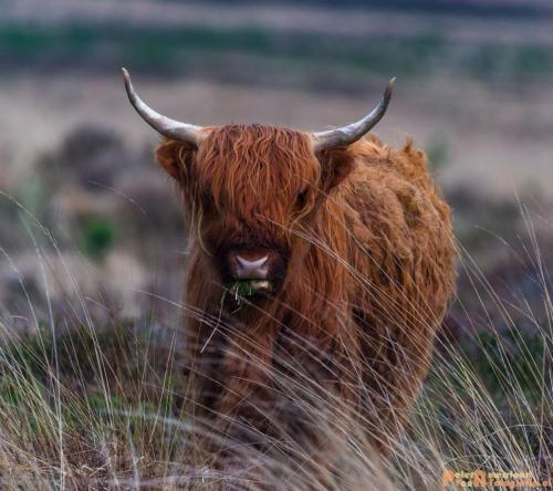 2018-04-30 Schotse Hooglanders Terletse Heide 017