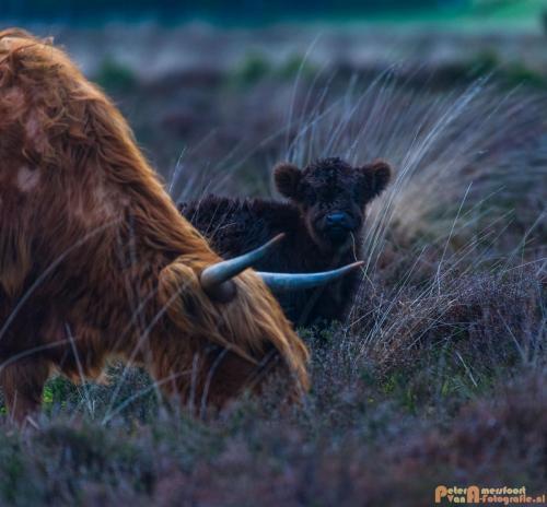 2018-04-30 Schotse Hooglanders Terletse Heide 018