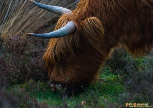 2018-04-30 Schotse Hooglanders Terletse Heide 021