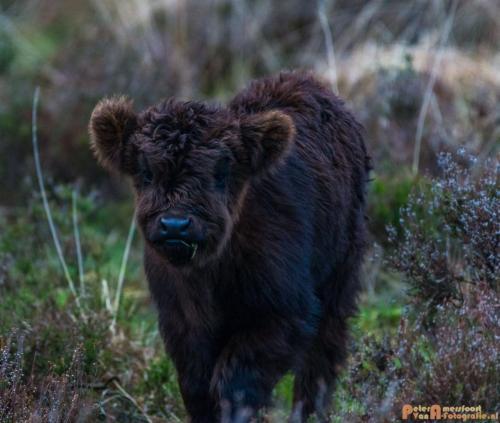 2018-04-30 Schotse Hooglanders Terletse Heide 023