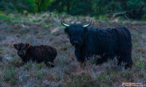 2018-04-30 Schotse Hooglanders Terletse Heide 027