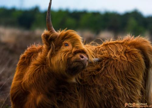 2018-04-30 Schotse Hooglanders Terletse Heide 029