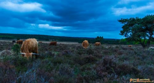 2018-04-30 Schotse Hooglanders Terletse Heide 032