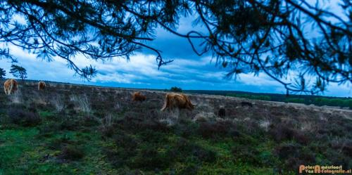 2018-04-30 Schotse Hooglanders Terletse Heide 034